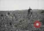 Image of Sugarcane fields Hawaii USA, 1916, second 58 stock footage video 65675022626