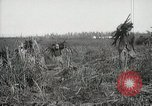 Image of Sugarcane fields Hawaii USA, 1916, second 60 stock footage video 65675022626