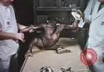 Image of Chimpanzee for spacecraft testing United States USA, 1960, second 24 stock footage video 65675023323