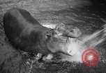 Image of hippopotamus New York United States USA, 1931, second 14 stock footage video 65675030768