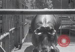 Image of hippopotamus New York United States USA, 1931, second 20 stock footage video 65675030768