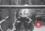Image of hippopotamus New York United States USA, 1931, second 21 stock footage video 65675030768