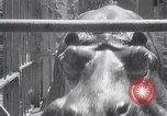 Image of hippopotamus New York United States USA, 1931, second 23 stock footage video 65675030768