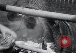 Image of hippopotamus New York United States USA, 1931, second 28 stock footage video 65675030768