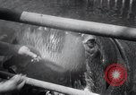 Image of hippopotamus New York United States USA, 1931, second 29 stock footage video 65675030768