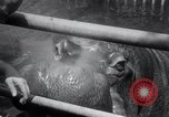Image of hippopotamus New York United States USA, 1931, second 30 stock footage video 65675030768