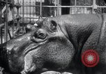 Image of hippopotamus New York United States USA, 1931, second 33 stock footage video 65675030768