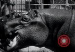 Image of hippopotamus New York United States USA, 1931, second 35 stock footage video 65675030768