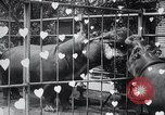 Image of hippopotamus New York United States USA, 1931, second 39 stock footage video 65675030768