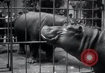 Image of hippopotamus New York United States USA, 1931, second 44 stock footage video 65675030768