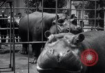 Image of hippopotamus New York United States USA, 1931, second 46 stock footage video 65675030768