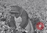Image of grape harvest France, 1931, second 14 stock footage video 65675031149