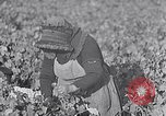 Image of grape harvest France, 1931, second 15 stock footage video 65675031149