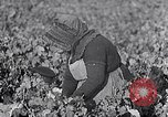Image of grape harvest France, 1931, second 18 stock footage video 65675031149