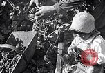 Image of grape harvest France, 1931, second 19 stock footage video 65675031149