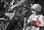 Image of grape harvest France, 1931, second 20 stock footage video 65675031149