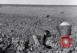 Image of grape harvest France, 1931, second 23 stock footage video 65675031149