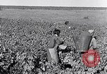 Image of grape harvest France, 1931, second 24 stock footage video 65675031149