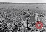 Image of grape harvest France, 1931, second 25 stock footage video 65675031149