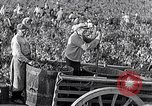 Image of grape harvest France, 1931, second 29 stock footage video 65675031149