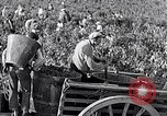 Image of grape harvest France, 1931, second 34 stock footage video 65675031149