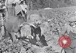 Image of grape harvest France, 1931, second 50 stock footage video 65675031149