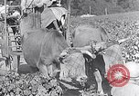 Image of grape harvest France, 1931, second 52 stock footage video 65675031149