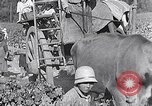 Image of grape harvest France, 1931, second 56 stock footage video 65675031149