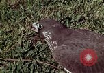 Image of peregrine falcon California United States USA, 1970, second 19 stock footage video 65675031951