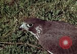 Image of peregrine falcon California United States USA, 1970, second 20 stock footage video 65675031951