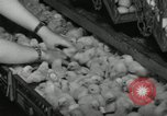 Image of chicken hatched New Brunswick New Jersey USA, 1941, second 8 stock footage video 65675032025