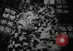 Image of chicken hatched New Brunswick New Jersey USA, 1941, second 18 stock footage video 65675032025