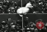 Image of chicken hatched New Brunswick New Jersey USA, 1941, second 29 stock footage video 65675032025