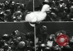 Image of chicken hatched New Brunswick New Jersey USA, 1941, second 30 stock footage video 65675032025