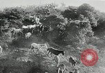 Image of annual wild horse round up Hayward California USA, 1930, second 28 stock footage video 65675032154