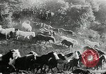 Image of annual wild horse round up Hayward California USA, 1930, second 37 stock footage video 65675032154