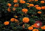 Image of Marigolds in bloom Washington DC USA, 1974, second 3 stock footage video 65675032288