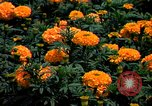 Image of Marigolds in bloom Washington DC USA, 1974, second 25 stock footage video 65675032288