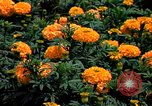 Image of Marigolds in bloom Washington DC USA, 1974, second 26 stock footage video 65675032288