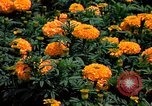 Image of Marigolds in bloom Washington DC USA, 1974, second 27 stock footage video 65675032288