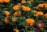 Image of Marigolds in bloom Washington DC USA, 1974, second 28 stock footage video 65675032288