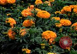 Image of Marigolds in bloom Washington DC USA, 1974, second 29 stock footage video 65675032288