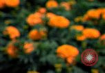 Image of Marigolds in bloom Washington DC USA, 1974, second 30 stock footage video 65675032288