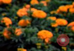 Image of Marigolds in bloom Washington DC USA, 1974, second 37 stock footage video 65675032288