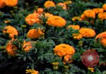 Image of Marigolds in bloom Washington DC USA, 1974, second 38 stock footage video 65675032288