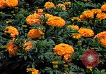 Image of Marigolds in bloom Washington DC USA, 1974, second 41 stock footage video 65675032288