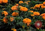 Image of Marigolds in bloom Washington DC USA, 1974, second 43 stock footage video 65675032288