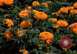 Image of Marigolds in bloom Washington DC USA, 1974, second 44 stock footage video 65675032288