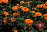 Image of Marigolds in bloom Washington DC USA, 1974, second 46 stock footage video 65675032288