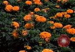 Image of Marigolds in bloom Washington DC USA, 1974, second 48 stock footage video 65675032288